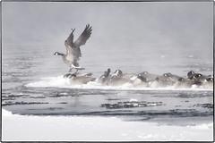 _1010111 (geelog) Tags: alberta bebogrove calgary fishcreekpark shannonterrace sikomelake newyearsday ab canada
