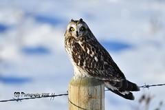 Short-eared Owl DSC_5021 (Ron Kube Photography) Tags: owl owls bird birds nature fauna ornithology alberta canada shortearedowl shorteared southernalberta raptor birdofprey nikon nikond500 d500 ronaldok globalbirdtrekkers asioflammeus ronkubephotography
