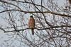 Sharp-shinned Hawk (Neal D) Tags: bc surrey crescentbeach blackiespit bird hawk sharpshinnedhawk accipiterstriatus tree branches