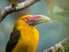 Araçari-banana - Saffron Toucanet (Pteroglossus bailloni) (Eden Fontes) Tags: saffrontoucanet araçaribanana pteroglossusbailloni aves parnaitatiaia birds hotelype rj itatiaia riodejaneiro