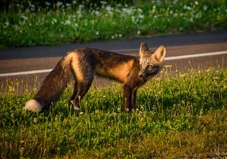 Fox at Golden Hour