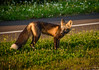 Fox at Golden Hour (Katrina Wright) Tags: pei princeedwardisland dsc4799 fox kit wildlife goldenhour sunlight grass road encounter