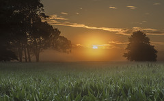 Before work (zebedee1971) Tags: sunrise fog foggy summer morning sun light corn farm farmland farmer waikato new zealand trees silhouette sky clouds cloudy clear
