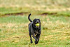 fun with a yellow ball 2 (Paul Wrights Reserved) Tags: dog dogs running happy fun action speed spray tail ball yellow teeth face head bokeh