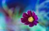 Spring Feeling (frederic.gombert) Tags: cosmos flower light purple red pink dark color sunlight sun macro nikon plant garden bloom winter spring feeling
