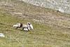 Arctic fox saving the catch of the day (Markus CH64) Tags: artic fox saving catch day hunt polarfox polarfuchs fuchs markus bollmann ch64 svalbard spitzbergen fotoreisench travelphotography reisefotographie nikon d810 d500 norway norwegen fotoreisen arktis arctic