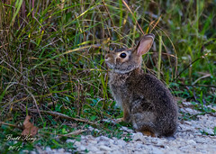 rabbit (dbking2162) Tags: animal wildlife nature nationalgeographic rabbit bunny cute outside green