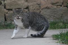 cat (iron_doji) Tags: cat georgia animals tiger amazing beautiful colorful pet road canon