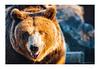 OSO_PARDO (JM Fotografía Profesional) Tags: oso pardo animal animales belleza hermosos pelaje pelo mirada frente ibérico ibérica españa