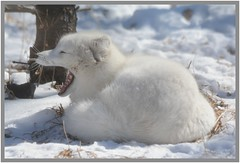 Open Wide...Say Ahhhh! - I. (Wolverine09J ~ 1.5 Million Views) Tags: comozmar2017 arcticfox mammal northamericanwildlife zoohabitat winter yawning bright nature sjohnsonsfauna fantasticnaturegroup rainbowofnaturelevel1red thelooklevel1red thelooklevel2yellow rainbowofnaturelevel2orange rainbowofnaturelevel3yellow thelooklevel3orange dreamsilldream rainbowofnaturelevel4green colorsoftheheart thesunshinegroup coth5 rainbowofnaturelevel6pink rainbowofnaturelevel7purple