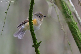 Red-flanked Bluetail, Robin à flancs roux (Tarsiger cyanurus) - Montzen, Bois de Hees, BELGIUM