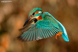 Common Kingfisher hovering.