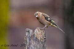 xxD40_1191 (Eyas Awad) Tags: eyasawad nikond4 sigma500f45 nikond800 nikonafs300mmf4 bird birds birdwatching wildlife nature fringuello fringillacoelebs