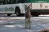 The Deer and The Bus (H. P. Filho) Tags: dslr apsc canoneosrebelt5i canonefs55250mmf456isstm digitalphotoprofessional cropped yosemite yosemitevillage deer bus street faved 50view 100view 2fav 250view 500view getty 1000view