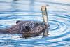 Castor sauvage, Sacacomie, Québec (Claude-Olivier Marti) Tags: canada amériquedunord nature castor beaver wildanimals wildlife barrage sacacomie nikond800 nikon200500mmf56