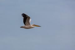 Sudafrica17-3221.jpg (davidthegray) Tags: dehoopnaturereserve pelican sudafrica bird greatwhitepelican southafrica birds pelikan pellicano overbergdc westerncape za