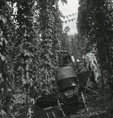 H01852 Hop-pickers c.1900 (East Sussex Libraries Historical Photos) Tags: 1900 hops hopfields hoppickers barrel cart costume pram