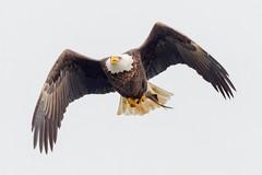High Key Eagle Image (coihueco1964) Tags: 2017 201712dec 20171204conowingoeagles birds canon7d conowingo content december eagle fall folder maryland peterscamera petersphotos places season takenby us