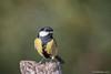 Parus major. (Ciminus) Tags: greattit naturesubjects aves ornitology nature ciminus birds cinciallegra ciminodelbufalo afsnikkor300mmf28gedvrii wildlife parusmajor oiseaux mésange nikond500 garden uccelli ornitologia