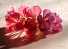 ***❤*** (MargoLuc) Tags: new year light greetings prosperous healthy bokeh flowers pink geranium shadows droplets