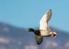 Mallard Duck (gilamonster8) Tags: yellow bird blue beyondbokeh bokeh bill waterbird wing 7dmarkii canon explore explored eos ef400mm56l park pond flickrelite fly duck mallard