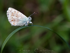 She wants to break free (Paco CT) Tags: animal butterfly insecto lepidoptera macro mariposa insect insecta pacoct 2018 nature explore