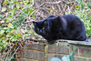 Watching the magpie (stellagrimsdale) Tags: cat animal mammal black watching blackcat roof bricks ivy face eyes