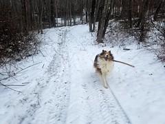 Snow Ben, 2018 (~ Liberty Images) Tags: ben snow collie dog sable roughcollie herdingdog superben happy joy winter