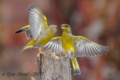 xxD40_6165 (Eyas Awad) Tags: eyasawad nikond4 sigma500f45 nikond800 nikonafs300mmf4 bird birds birdwatching wildlife nature verdone chlorischloris