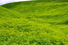 Weeds10.tif (NRCS Montana) Tags: weeds noxious leafyspurge