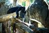 Black panther (wuestenigel) Tags: lazy cat black panther wildlife nature predator animal wood holz noperson keineperson natur mammal säugetier tree baum zoo outdoors drausen tierwelt rock park wild water wasser one ein portrait porträt tier jungle dschungel stone stein rainforest regenwald monkey affe two zwei