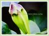 Promising bud of Solandra grandiflora (jayjayc) Tags: flickr17 jaycjayc malaysia kualalumpur floweringplants tropicalplant vine perennials green white solandragrandiflora chalicevine cupofgold goldcupvine goldenchalicevine
