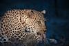 La lingua (massimobruno1) Tags: leopard mammifero