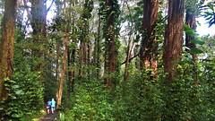 Maui, Waikamoi Natural Trail (gerard eder) Tags: world travel reise viajes america northamerica hawaii usa unitedstates maui rainforest trail trees arboretum jungle jungla vegetation tropical tropicalisland tropicalislands island outdoor
