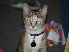 Twix (lorablong) Tags: twix cat pet california westhollywood