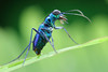 IMG_4222 Tiger beetle. HBBBT! (omtelsimon) Tags: cicindelephilia coleoptera specinsect