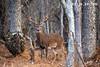 BACKWOODS 9 (Larry W Brown) Tags: whitetailbuck shenandoahnationalpark virginia whitetail deer treeburl treeburr 9pointbuck