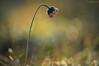 Are we again beautiful, is it again the flower... (oskaybatur) Tags: december winter 2017 oskaybatur nature dof bokeh pentaxk3 pentaxart justpentax çerkezköy türkiye turkey turkei wildflower flower smcpentaxdal55300mmf458ed