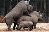 white rhino Burgerszoo BB2A6308 (j.a.kok) Tags: neushoorn rhino rhinoceros whiterhino witteneushoorn breedlipneushoorn burgerszoo animal africa afrika herbivore mammal zoogdier dier