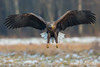 The Wings of an Angel - Poland (Mr F1) Tags: johnfanning wte whitetailedeagle nature outdoors feathers angel wings snow ice cold winter poland europe raptor bif birdsinflight birdinflight woodland forest wild