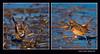 Cotxa blava 15 (Luscinia svecica) Bluethroat (Sueca, la Ribera Baixa, València, Spain (Rafel Ferrandis) Tags: cotxablava marjal sueca au quadrat eos7dmkii sigma150600contemporary birdsseashore