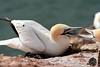 Basstölpel (victorlaszlo73) Tags: basstölpel helgoland birds vögel nordsee inseln meer sea