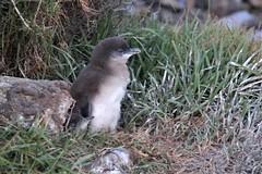 Little penguins, Burnie, Tasmania (photo 1 of 3) (RossCunningham183) Tags: littlepenguins fairypenguin burnie tasmania igloo eudyptulaminor bird chick chicks australia