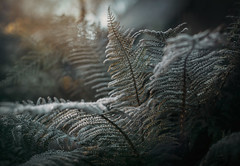 Stillness (V Photography and Art) Tags: light rays rayoflight morning winter frost frozen fern bokeh backlit