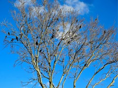 Birds in tree against a blue sky copy (LarryJay99 ) Tags: birds urbannature blackbirds urban tree sky cloudysky featheredfriends nature
