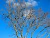 Birds in tree against a blue sky copy (LarryJay99 ) Tags: birds urbannature blackbirds urban tree sky cloudysky featheredfriends nature
