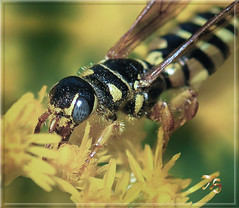 This Close Is Amusing (Vidterry) Tags: wasp wespe nikond300 nikkor60mmmicro 11250thf56