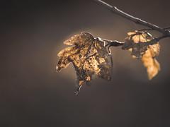 Is brown boring? (A_Peach) Tags: park pentacon135mm nature mft m43 lumix panasonic microfourthird micro43 apeach anjapietsch vintagelens manualfocus adaptedlens dof bokeh brown leaves leaf wilted old panasoniclumixg5 pentaconelectric135mmf28