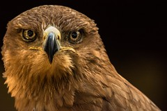 easy on the eye (jeff.white18) Tags: tawnyeagle eagle eyes feathers bird beak preditor birdofprey raptor nature portrait flickr