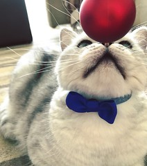 Cats Christmas (elianek) Tags: britishshorthair pets pet animals zoom natalino natal christmas xmas gatos gato cats cat